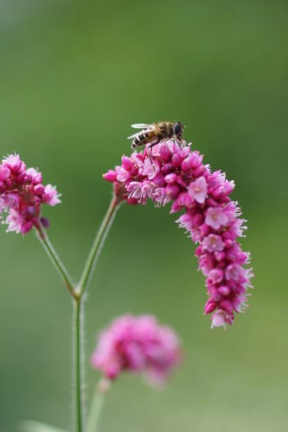 写真: オオケダケと蜜蜂