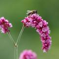 オオケダケと蜜蜂