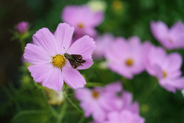 コスモスと蜂