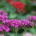 Photos: 花とホウジャク
