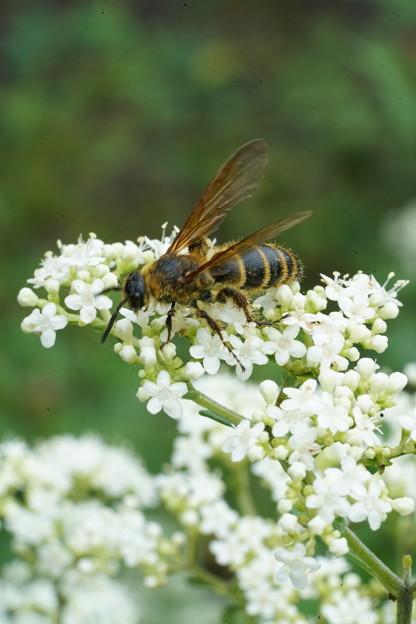 写真: オトエシと蜂