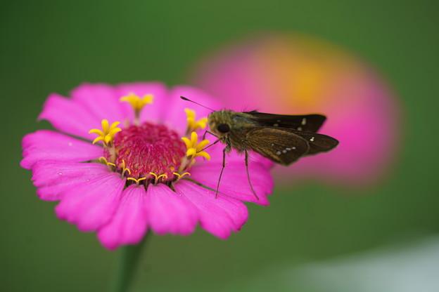 ジニアと蝶