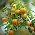 写真: 常盤柿