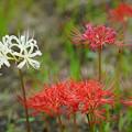 写真: 紅白の彼岸花