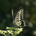 Photos: ヤブカラシと蝶