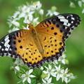 写真: 雌のツマグロヒョウモン