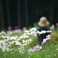 写真: 白いコスモス畑
