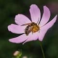 写真: 蜂と秋桜