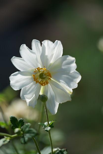 Photos: 八重の秋明菊