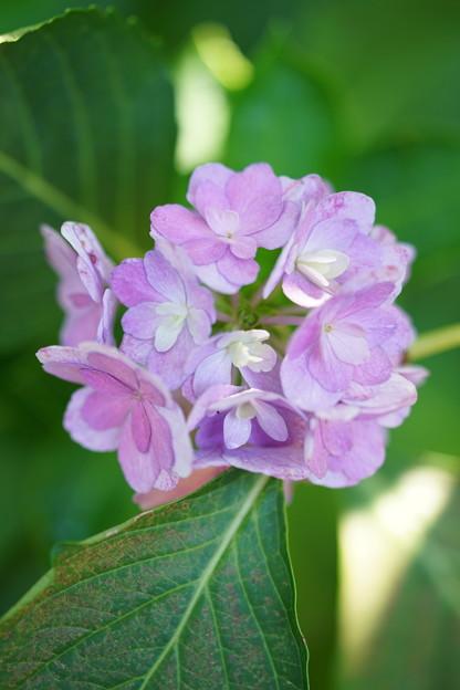 初秋の紫陽花