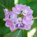 写真: 初秋の紫陽花