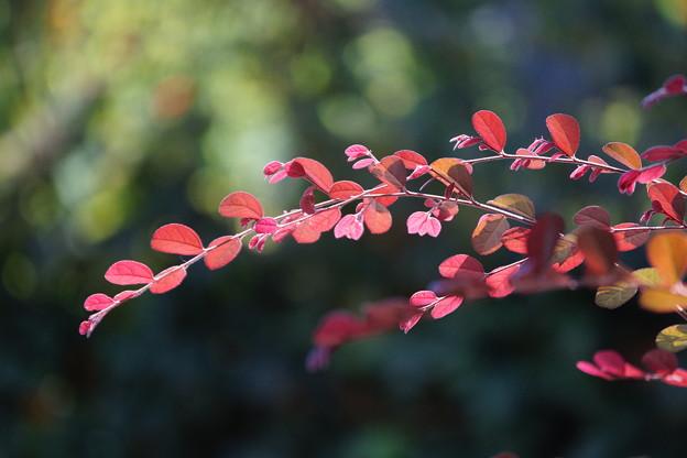アカバナトキワマンサクの葉