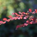 写真: アカバナトキワマンサクの葉