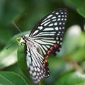 写真: 葉の上の蝶