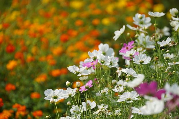 コスモモスの花々