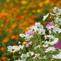 Photos: コスモモスの花々