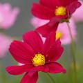 写真: 赤い秋桜