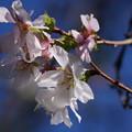 Photos: 秋の桜