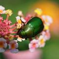 Photos: 緑のコガネム