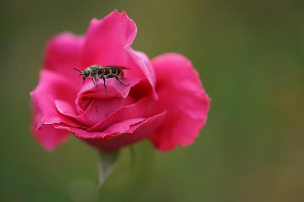 バラの中の蜂