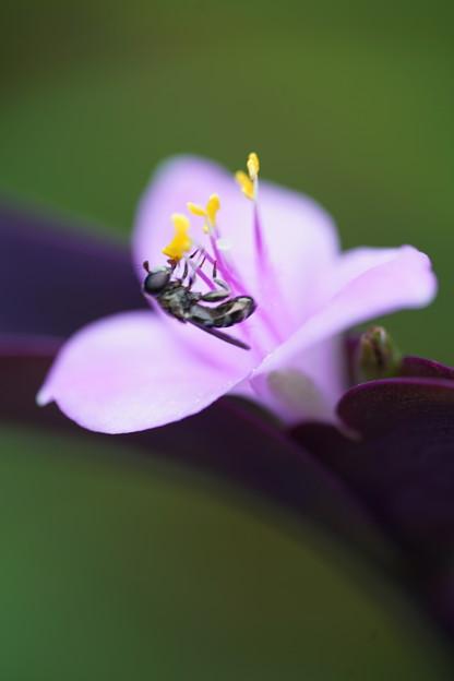 写真: 蜂とムラサキゴテン