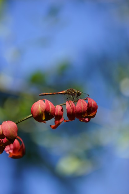 紅葉とトンボ