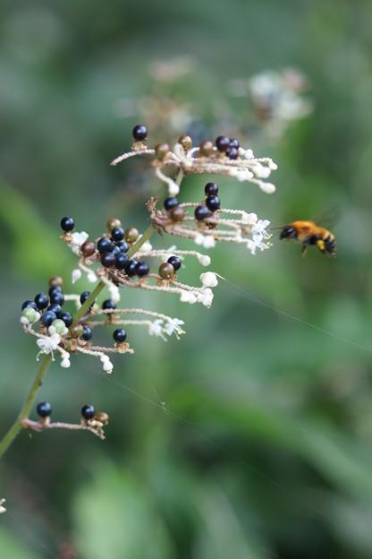 Photos: ヤブミョウガと蜂