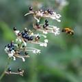 ヤブミョウガと蜂