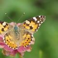 写真: ヒメアカタテハチョウ