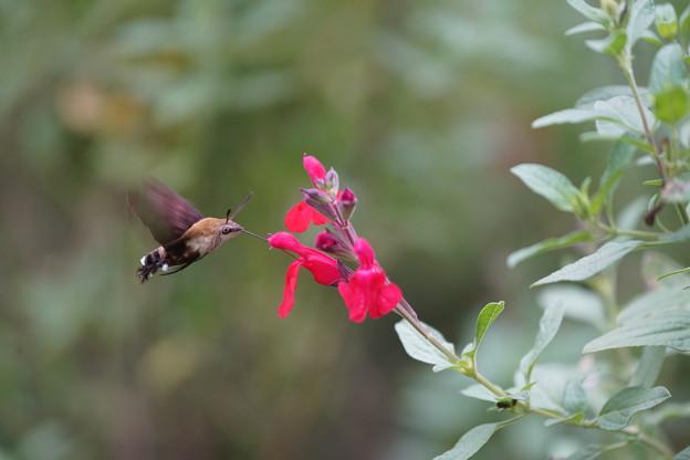 花とホウジャク