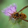 写真: 花とスズメバチ