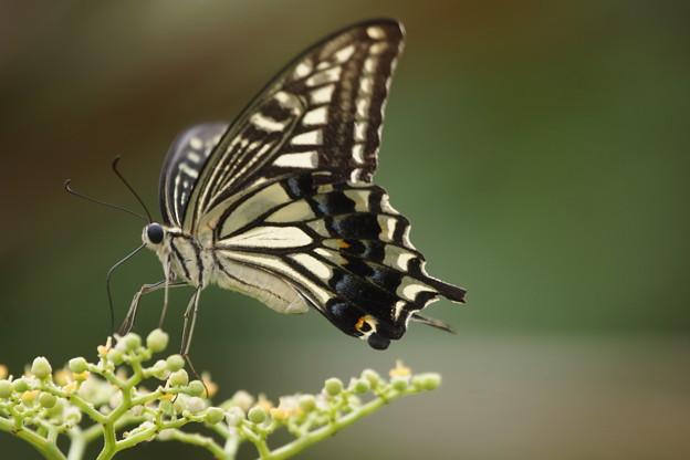 写真: ヤブカラシと蝶