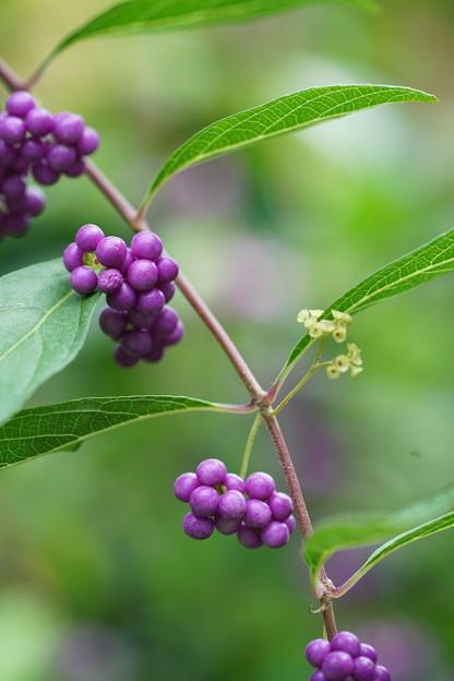 コムラサキの花と種