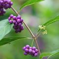写真: コムラサキの花と種