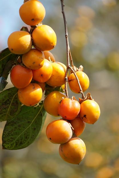 鈴なりの柿
