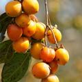 写真: 鈴なりの柿