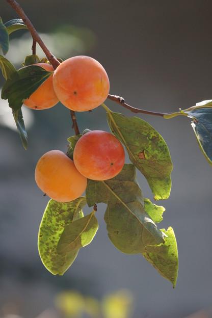 Photos: 柿の実