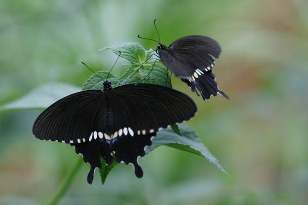 二匹のシロオビアゲハ