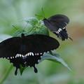 写真: 二匹のシロオビアゲハ