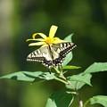 写真: 花とアゲハチョウ