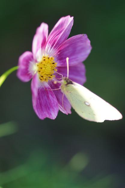 写真: 秋桜と蝶