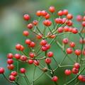 写真: 薔薇の種