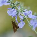 写真: 花とセセリチョウ