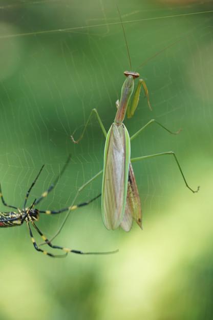 蜘蛛と蟷螂