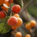 写真: 柿の実