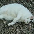 写真: 白猫