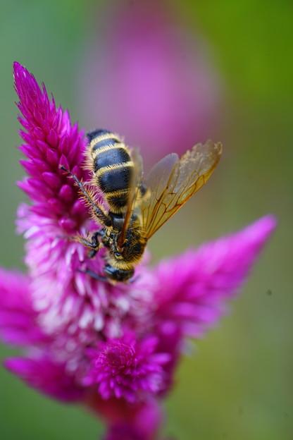ケイトウと蜂
