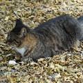 写真: 落葉の猫