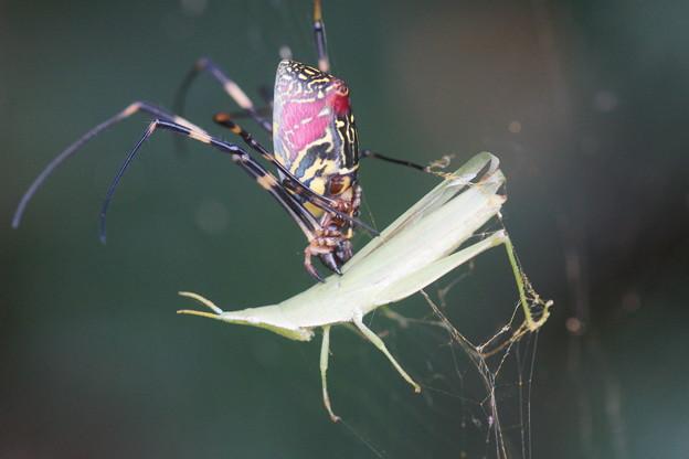バッタを噛む蜘蛛
