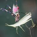 Photos: バッタを噛む蜘蛛